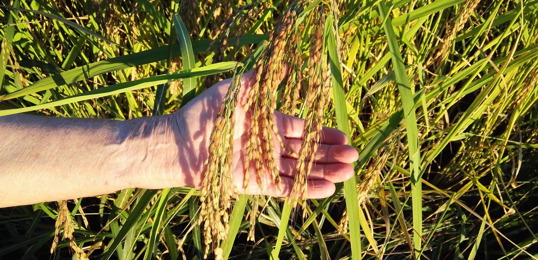 Riso coltivato in Italia